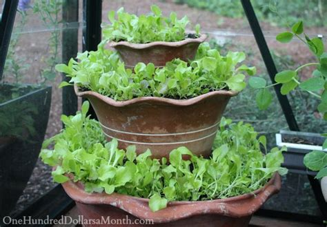 lettuce container garden growing vegetables in a greenhouse lettuce peas lemons