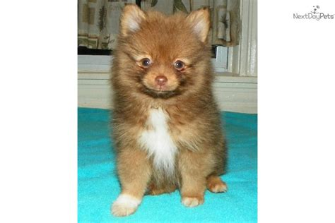 chocolate pomeranian puppy for sale chocolate pomeranian puppies for sale auto design tech