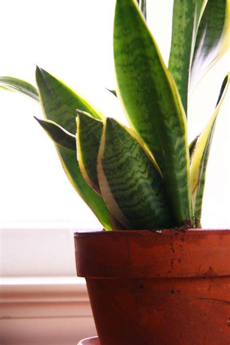 indoor plants archives red leaf stylered leaf style