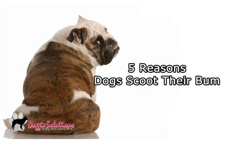 puppy scooting 5 reasons dogs scoot their bum across the floor