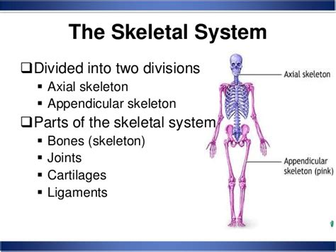 the human skull is divided into what two sections skeletal system anatomy and physiology