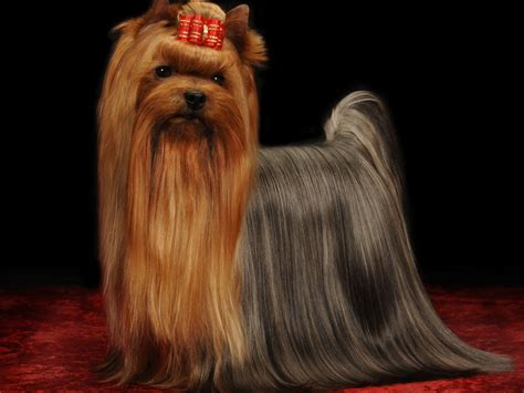 yorkie club of america breeders terrier for sale by tatiana blumenschein american kennel club