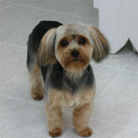5 year old yorkie floppy ears 19 best yorkie poo haircuts images on pinterest yorkie