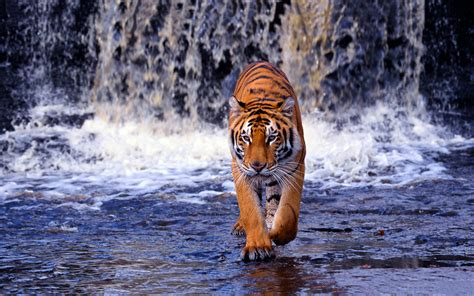 wallpaper tiger free download tigers wallpapers free download hd desktop wallpapers