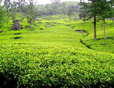 Ceylon Srilanka ceylon tea in sri lanka