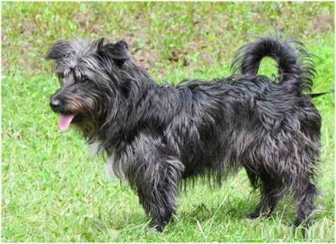 glen of imaal terrier puppies glen of imaal terrier breeders puppies facts pictures price animals adda
