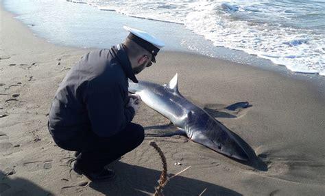 banca intesa ostia ostia trovato squalo incinta in spiaggia aveva 5