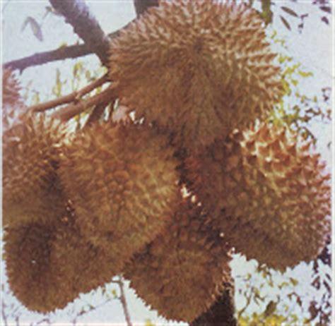 Bibit Jambu Air Darsono bibit tanaman buah berkualitas