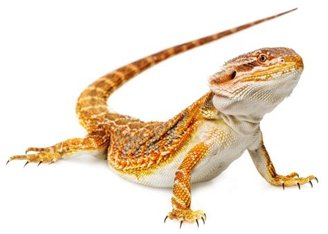 how often do bearded dragons go to the bathroom how often do bearded dragons go to the bathroom 28
