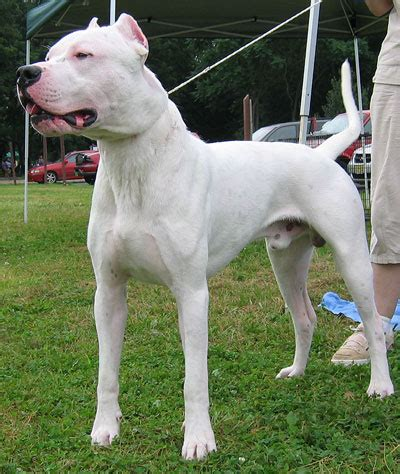 dogo dogs dogo argentino molossoid breeds from the encyclopedia dogs in