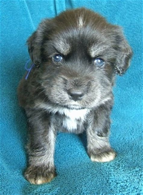4 week puppy siberian cocker breed information and pictures