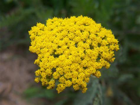 Gardening And Flowers Yellow Yarrow Flower Yellow Garden Flowers