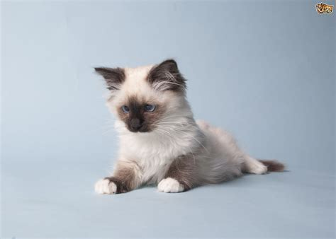 cat breed 7 of the most affectionate cat breeds pets4homes