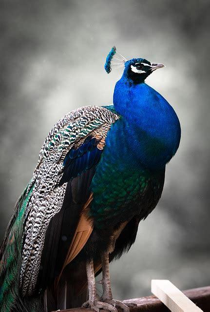Blue Animals peacock bird colorful 183 free photo on pixabay