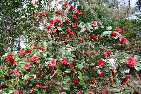 potatura camelia in vaso camelia rossa piante da giardino come curare la