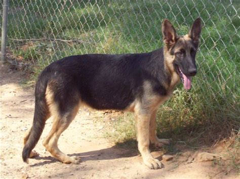 therapy dogs for sale wishpaw german shepherd dogs puppies for sale obedience therapy show guard