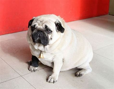 pug world world s heaviest pug damn cool pictures