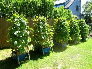 container gardening green beans pole beans in containers gardening ideas
