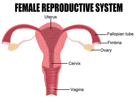 innere schamlippen ovulation after miscarriage your complete guide to ovulation