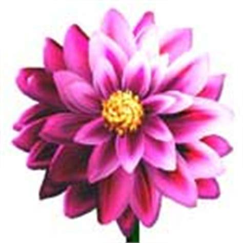 dalia fiore significato fiori significato