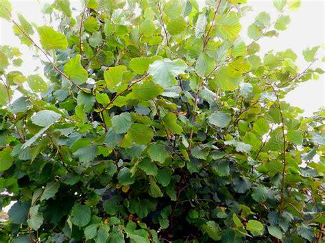 fast growing flowering shrubs uk fast growing bushes for hedges flowering shrubs hedge 5