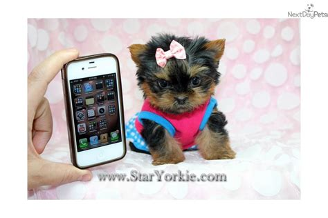 smallest yorkie in the world gallery for gt smallest yorkie in the world