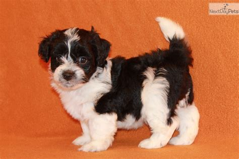 havanese puppies for sale in dallas havanese puppy for sale near dallas fort worth 14c0e645 d3c1