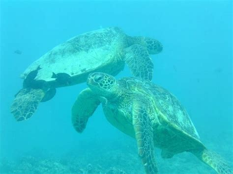 Turtle Import sea turtle photo gallery scuba diving