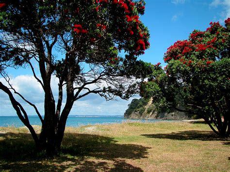 pohutukawa nz christmas tree  photo  auckland north island trekearth