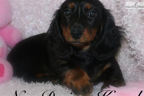 dachshund puppies iowa miniature dachshund puppies for sale in iowa upcomingcarshq