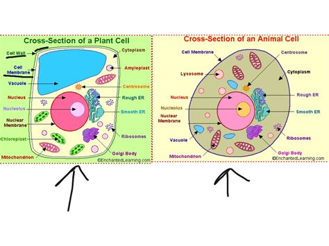 animal cell cross section showme biology animal and plant cell