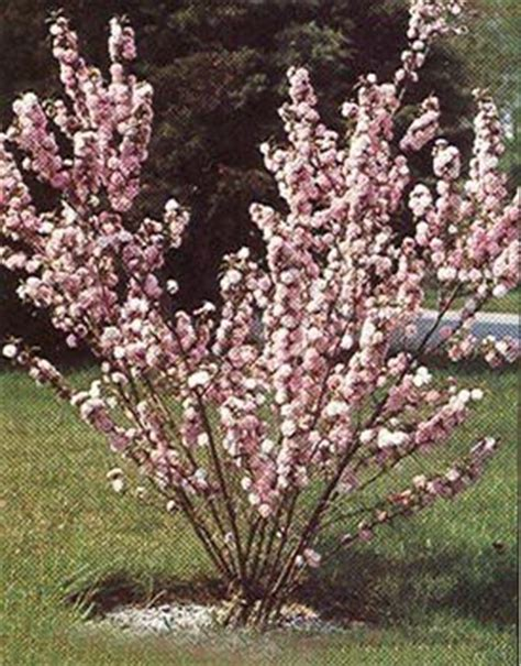 pink flowering almond shrub finally figured out my mystery shrub i
