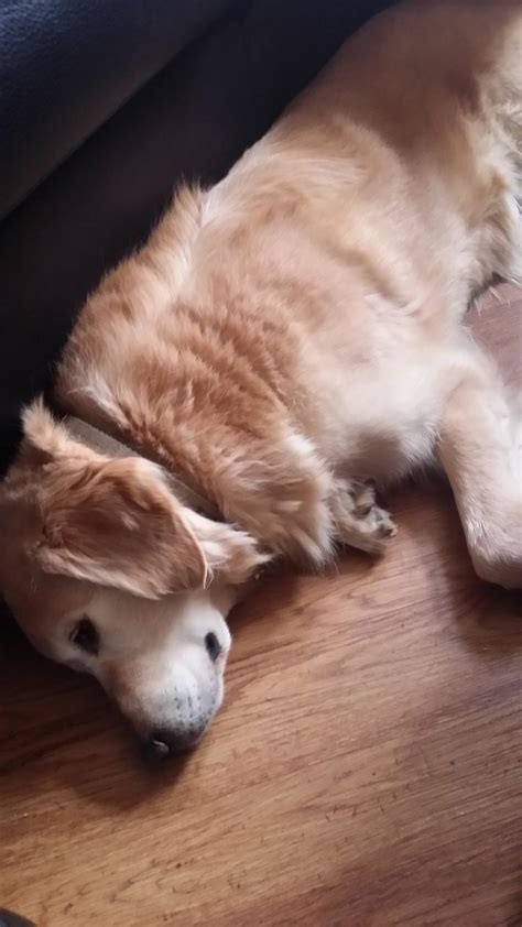 golden retriever puppies for sale bristol looking for a home bristol bristol pets4homes