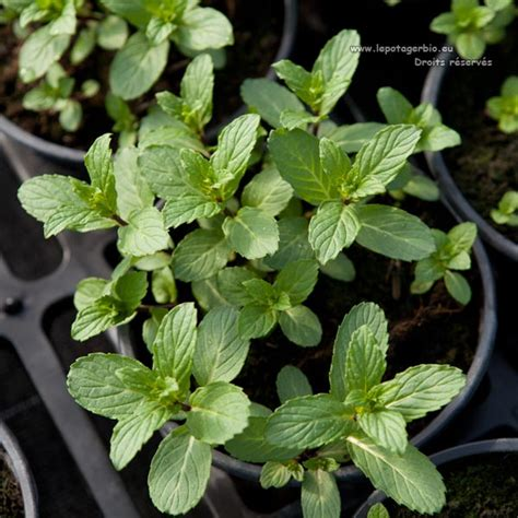 Agréable Pot Pour Plante Aromatique Interieur #2: Plante_aromatique_bio_menthe_3783.jpg