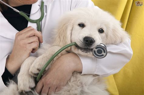 puppy vet knowing when to call the vet for your cat or pets4homes