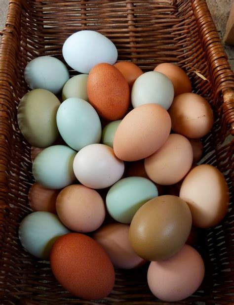 colored egg layers chicken breeds egg layers easter egg layer chickens