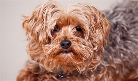 lifespan of a poodle terrier yorkipoo breed information