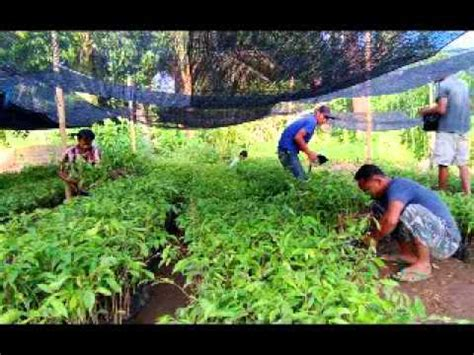 Jual Bibit Anggur Pekanbaru jual bibit gaharu di pekanbaru hub 08121605732 riau