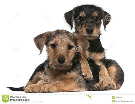 mixed breed puppies for free mixed breed puppies 8 weeks royalty free stock photo image 20334895