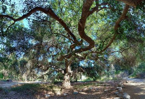 Claremont Botanical Gardens by Majestic Oak Picture Of Rancho Santa Botanic Garden