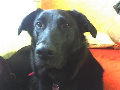 wolfhound golden retriever mix masha babko siberian mouse