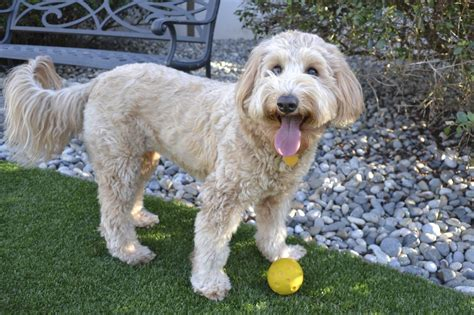 short haired labradoodle f1b goldendoodle haircut pictures newhairstylesformen2014 com