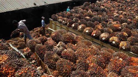 Kelapa Besar potensi kelapa sawit besar pemerintah harusnya punya