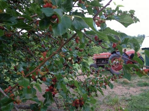 mulberry tree no fruit mulberry harvesting 10 ideas of what to do with mulberries
