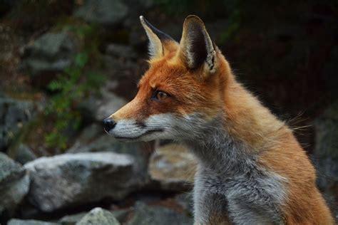 fox looking free photo fox wildlife animal free image on pixabay 984325