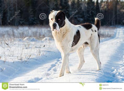 alabai puppies alabai royalty free stock photo image 36087075