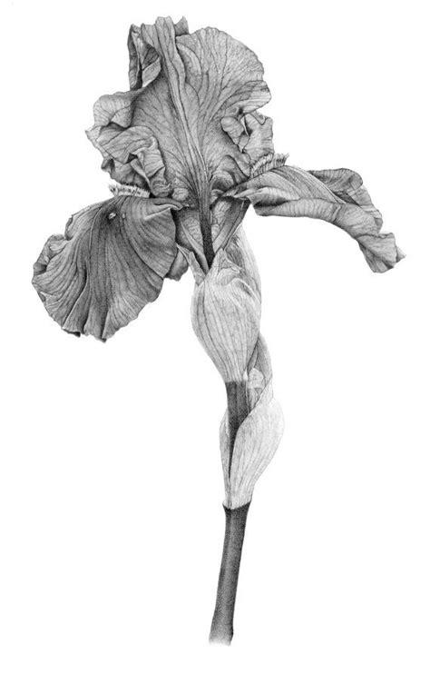 botanical drawing using graphite 1785001590 iris botanical print from original graphite drawing iris and botanical illustration