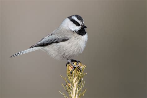 mountain chickadee coniferous forest