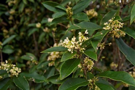 fiori di osmanto osmanto osmanthus piante da giardino osmanto olea