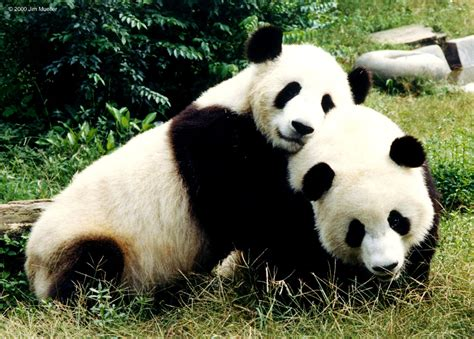 l accouplement des pandas un sujet 224 la mode des m 233 dias
